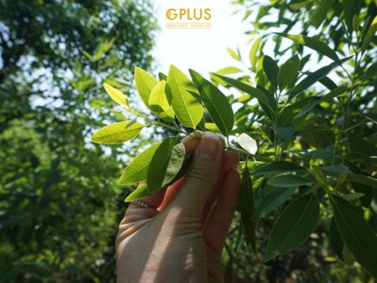 Nguyên liệu để làm ra trà lá Đàn Hương Chandana được chọn lọc kỹ càng