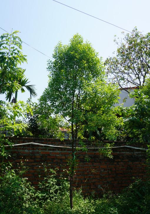 Cây đàn hương trắng Ấn Độ