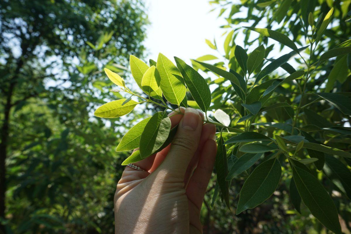 Vòng tay gỗ Đàn Hương phải được làm từ cây Đàn Hương có tuổi đời ít nhất 30 năm